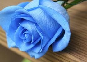 Hoa hồng xanh cho tình yêu lên ngôi